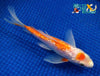 "6.25"" GINRIN KOHAKU BUTTERFLY - Koi To The World - 4"