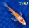 "6.25"" GINRIN KOHAKU BUTTERFLY - Koi To The World - 5"