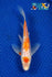 "6.25"" GINRIN KOHAKU BUTTERFLY - Koi To The World - 1"