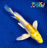 "7"" DOITSU HARIWAKE BUTTERFLY - Koi To The World - 5"
