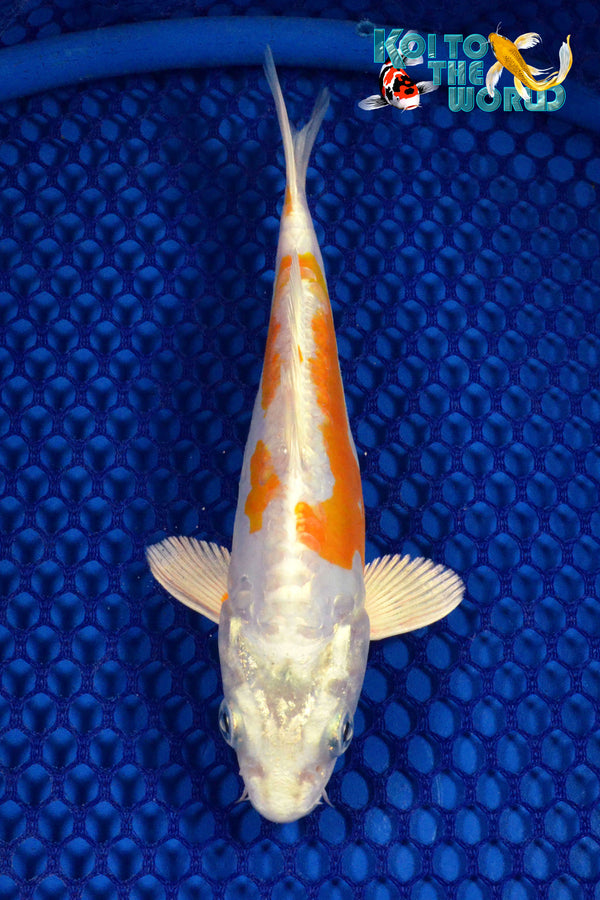 "6.5"" KIKUSUI - Koi To The World - 1"