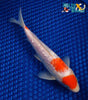 "7.5"" MARUTEN GINRIN KOHAKU - Koi To The World - 4"