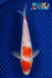 "7.5"" MARUTEN GINRIN KOHAKU - Koi To The World - 1"