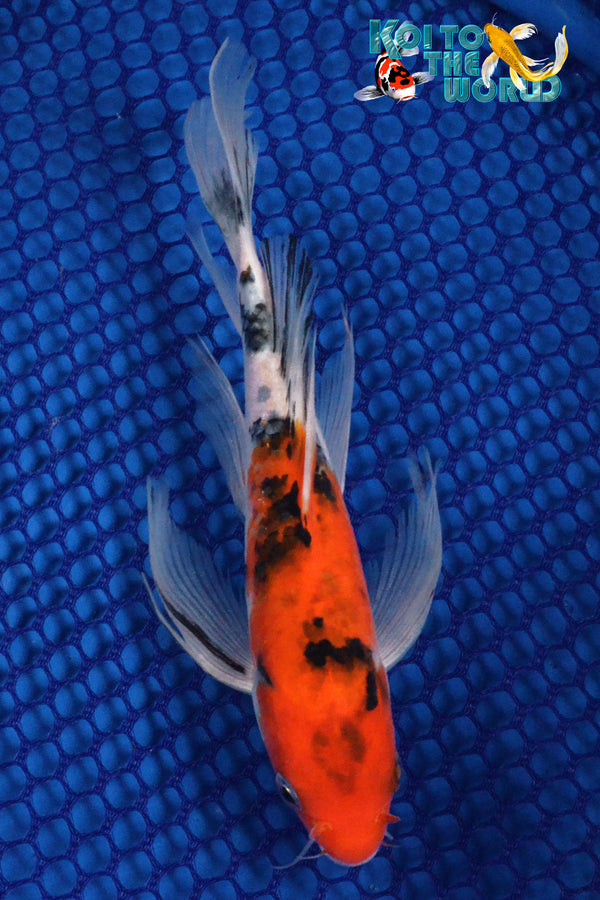 "7"" SANKE BUTTERFLY - Koi To The World - 1"