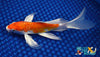 "6.25"" KIKUSUI BUTTERFLY - Koi To The World - 2"