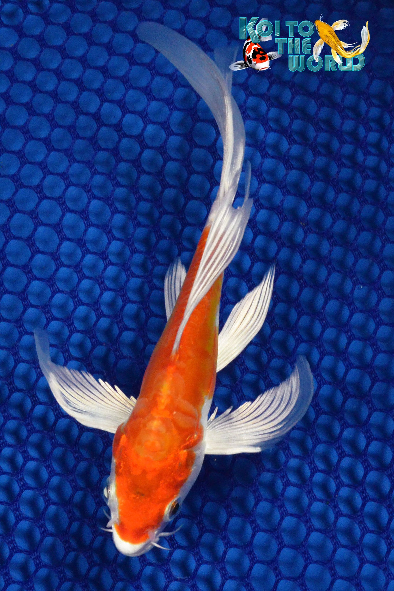 "6.25"" KIKUSUI BUTTERFLY - Koi To The World - 1"