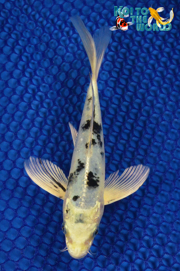 "6.75"" SHIRO BEKKO BUTTERFLY - Koi To The World - 1"