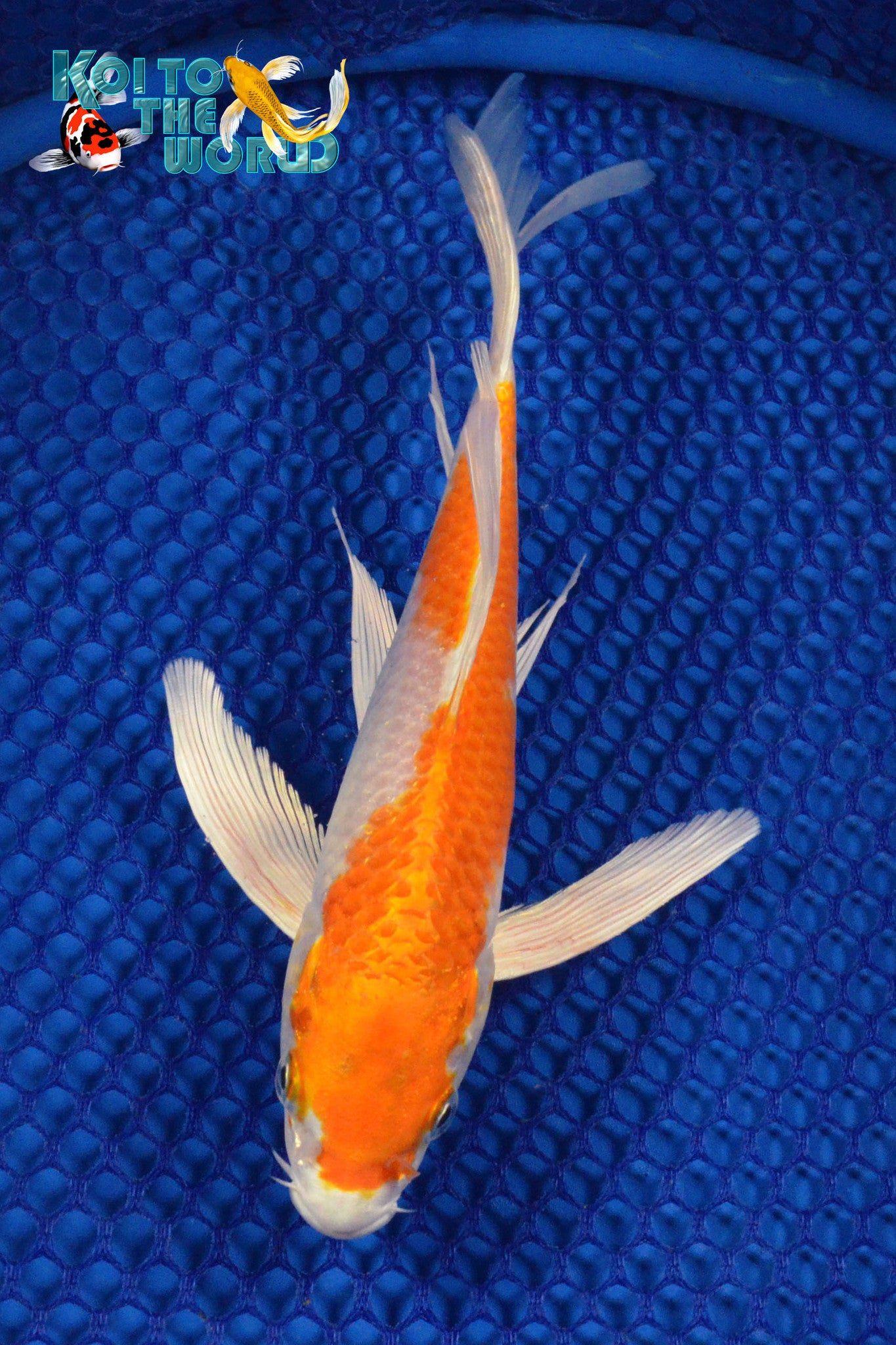 "9"" HARIWAKE BUTTERFLY - Koi To The World - 1"