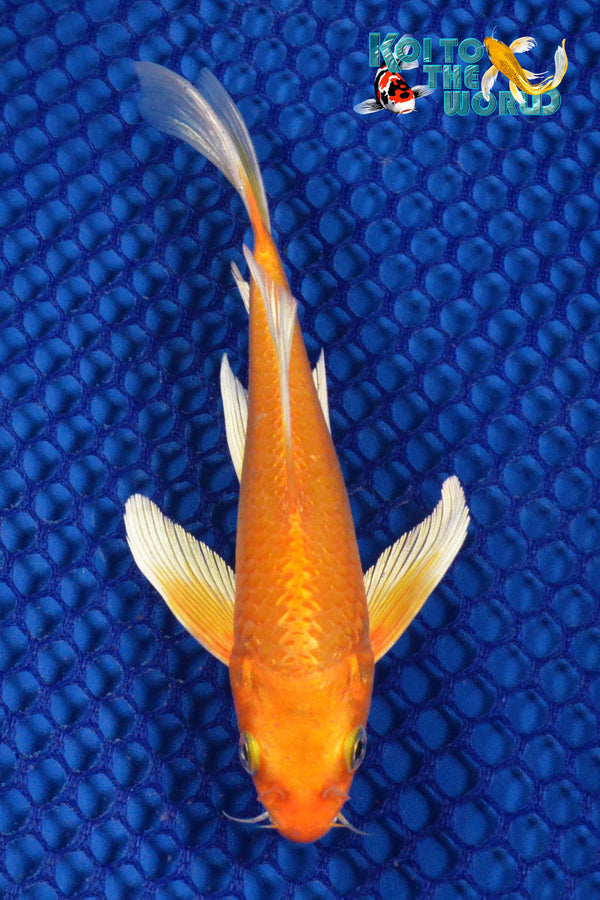 "6"" ORENJI OGON BUTTERFLY - Koi To The World - 1"