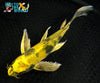 "9"" KIN KI UTSURI BUTTERFLY - Koi To The World - 2"