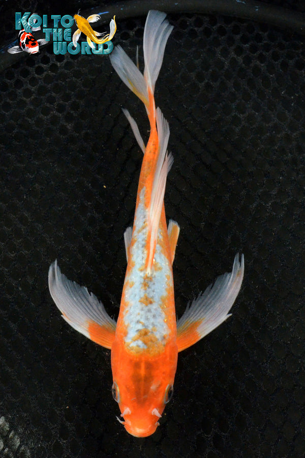 "8.75"" HI ASAGI BUTTERFLY - Koi To The World - 1"