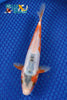 "7.75"" WHITE SHUSUI - Koi To The World - 1"