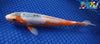 "7.75"" WHITE SHUSUI - Koi To The World - 3"