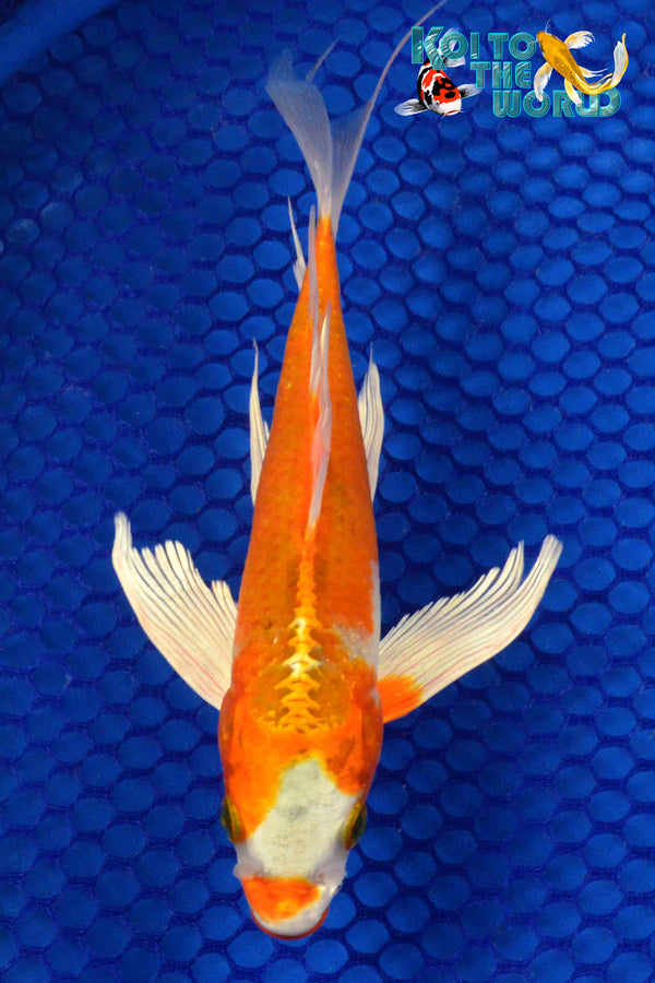 "8.25"" HARIWAKE BUTTERFLY - Koi To The World - 1"