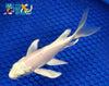"6.25"" PLATINUM OGON BUTTERFLY - Koi To The World - 4"