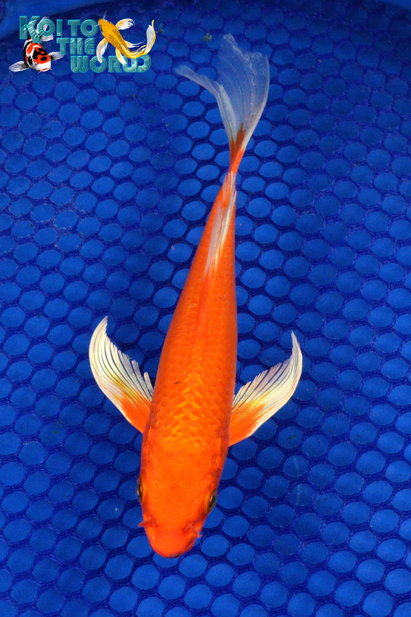 "7"" ""FLAME ORANGE"" OGON BUTTERFLY - Koi To The World - 1"