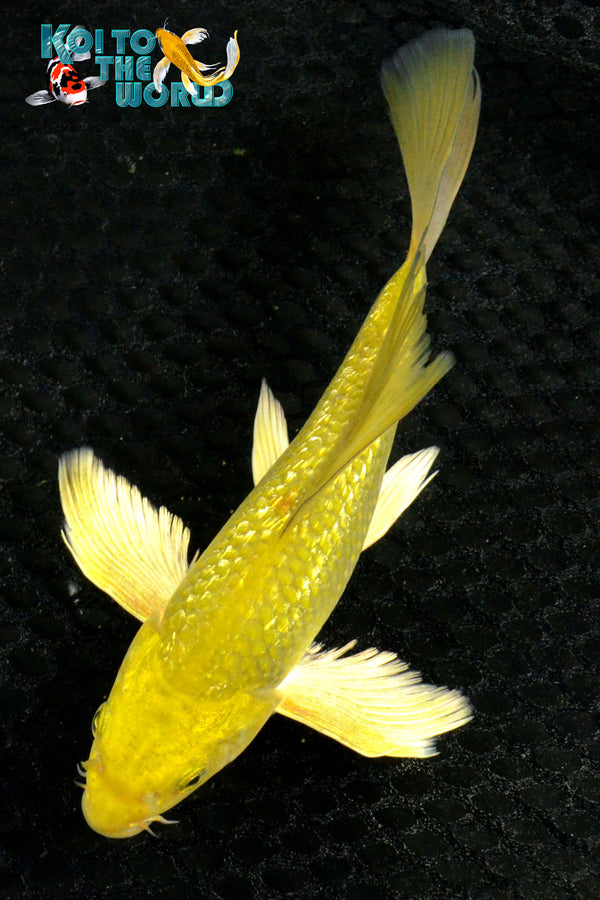 "7"" GINRIN ""GOLD DUST"" CHAGOI BUTTERFLY - Koi To The World - 1"