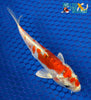 "6.25"" KIKUSUI - Koi To The World - 2"