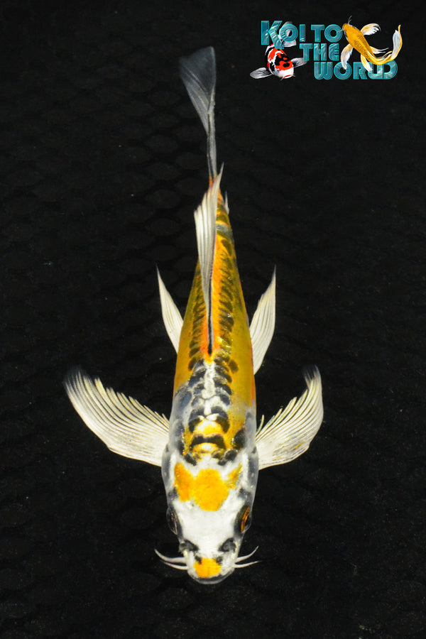 "6"" KIN KIKOKURYU BUTTERFLY - Koi To The World - 1"