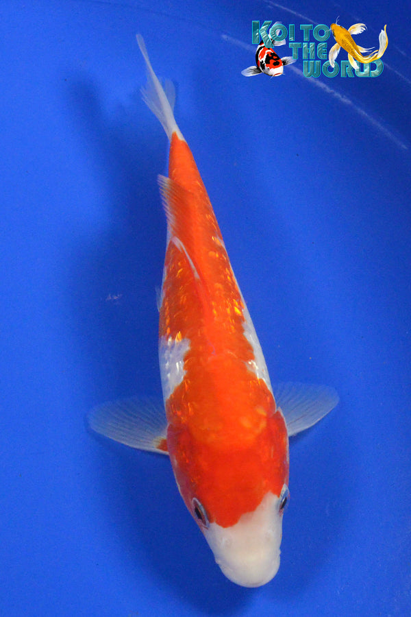 "7.5"" GINRIN KOHAKU - Koi To The World - 1"