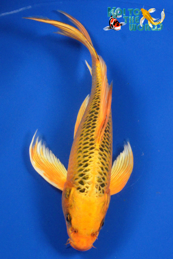 "8.5"" ORENJI MATSUBA BUTTERFLY - Koi To The World - 1"