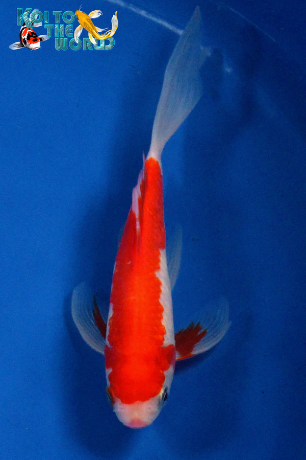 "6.5"" SARASA COMET - Koi To The World - 1"