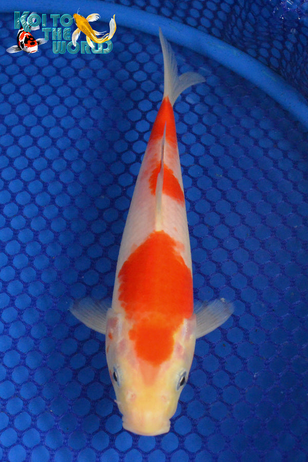 "8.25"" KOHAKU - Koi To The World - 1"