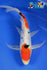 "8.5"" DOITSU SANKE BUTTERFLY - Koi To The World - 1"