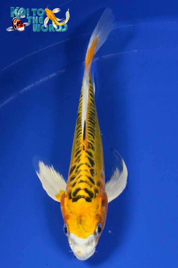"6.75"" DOITSU KUJAKU BUTTERFLY - Koi To The World - 1"