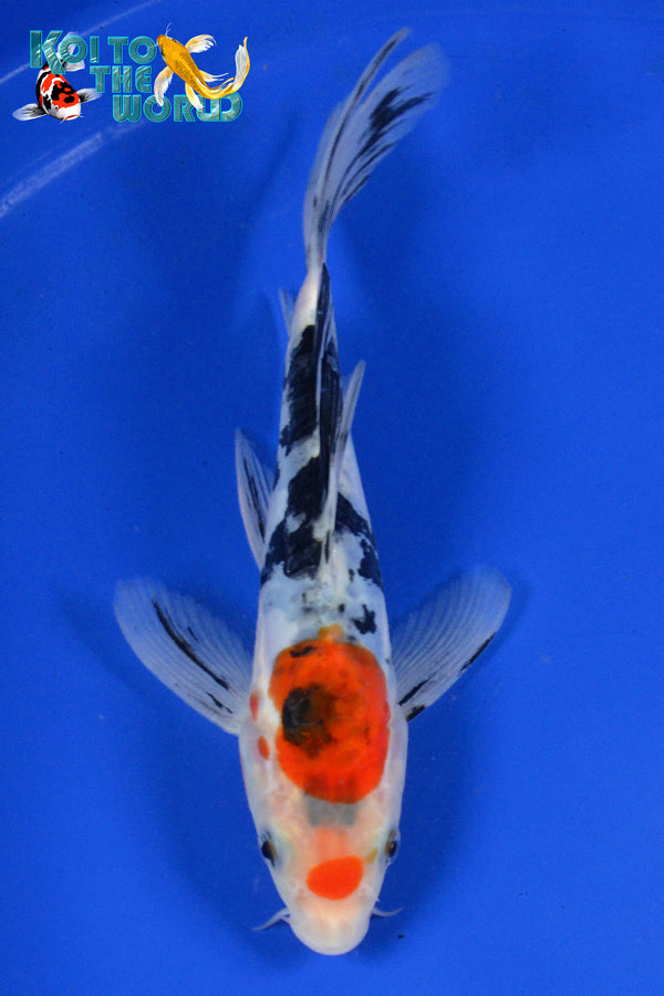 "6.5"" DOITSU SANKE BUTTERFLY - Koi To The World - 1"