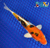 "6.25"" HEISEI NISHIKI - Koi To The World - 2"