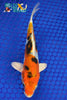 "6.25"" HEISEI NISHIKI - Koi To The World - 1"