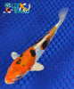 "6.25"" HEISEI NISHIKI - Koi To The World - 5"