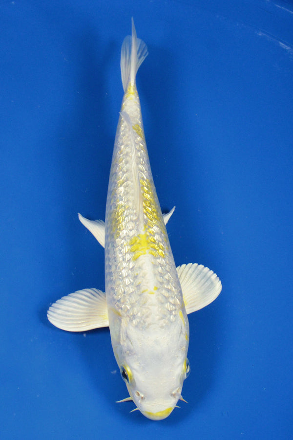 "8"" GINRIN HARIWAKE - Koi To The World - 1"