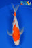 "8.5"" KOHAKU BUTTERFLY - Koi To The World - 1"