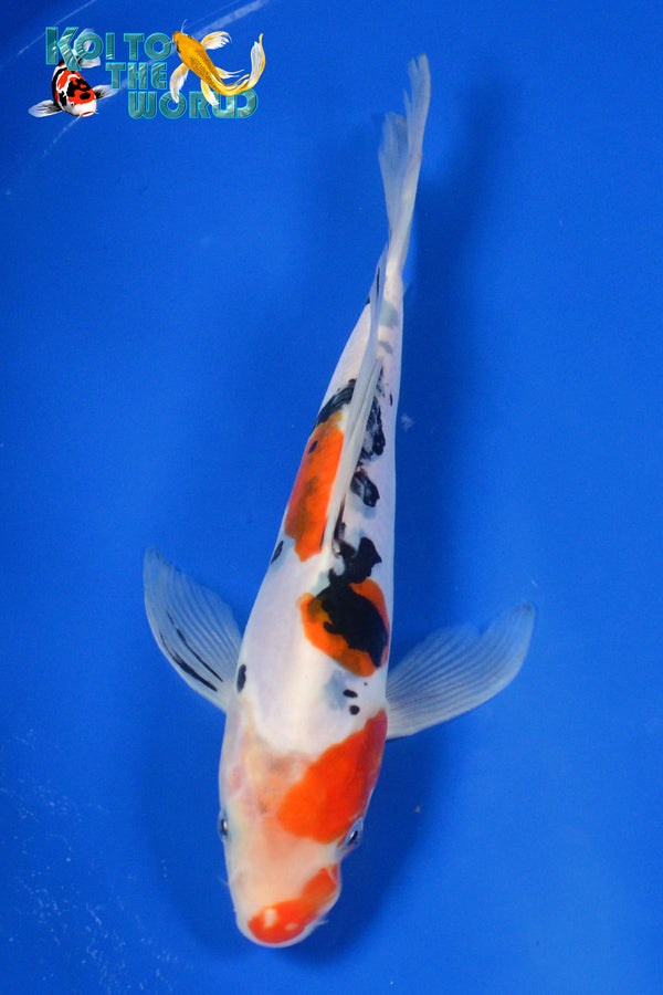 "7.25"" DOITSU SANKE BUTTERFLY - Koi To The World - 1"