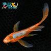 "6.25"" HI ASAGI BUTTERFLY - Koi To The World - 5"