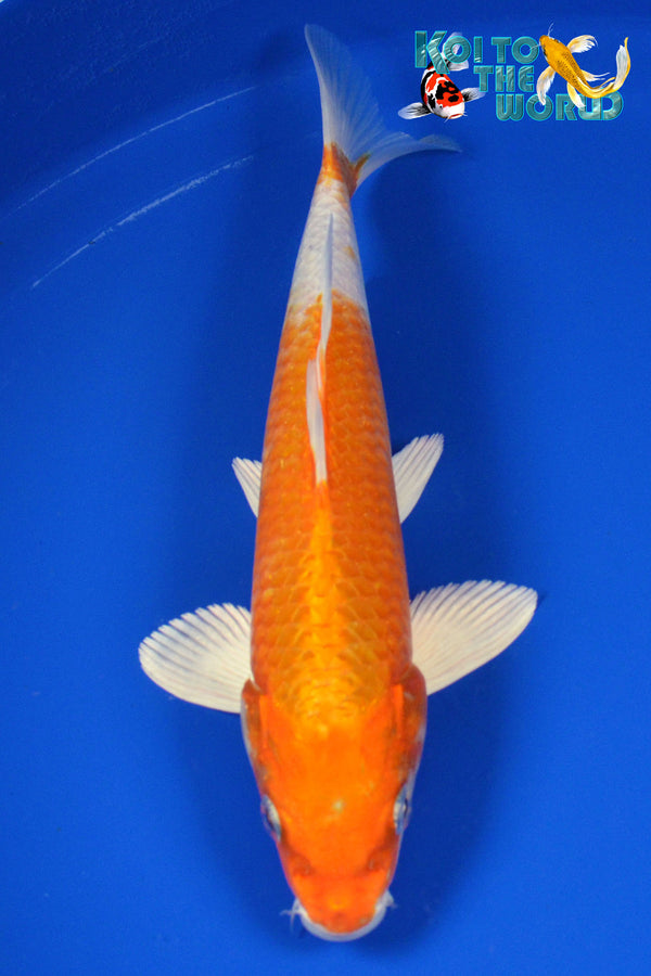 "9"" HARIWAKE - Koi To The World - 1"