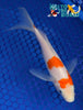 "6.25"" KOHAKU BUTTERFLY - Koi To The World - 3"
