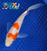 "6.25"" KOHAKU BUTTERFLY - Koi To The World - 5"