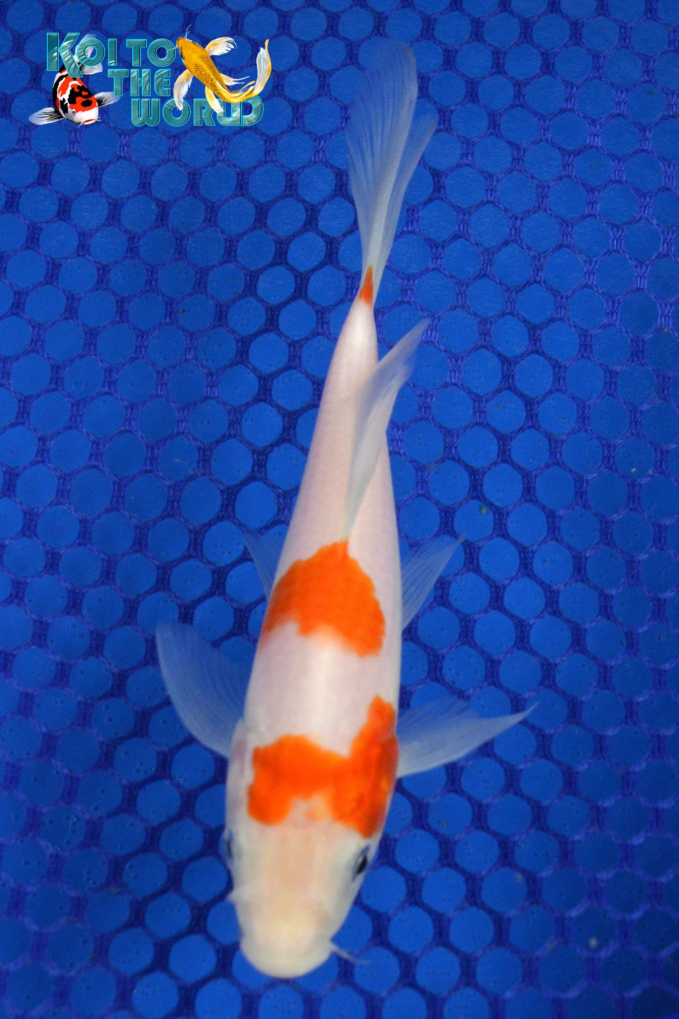 "6.25"" KOHAKU BUTTERFLY - Koi To The World - 1"