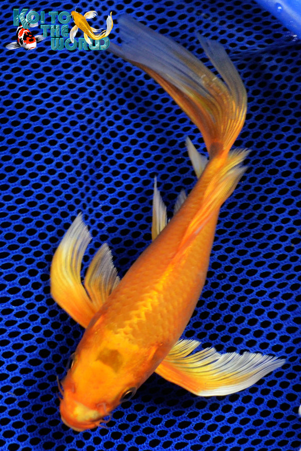 "8"" ORENJI OGON BUTTERFLY - Koi To The World - 1"