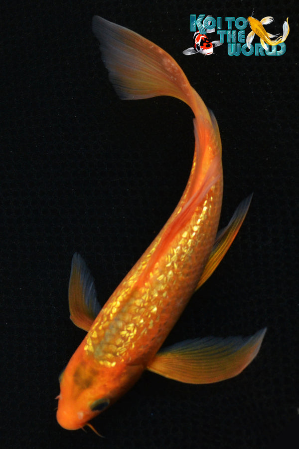 "8"" GINRIN AKA MATSUBA BUTTERFLY - Koi To The World - 1"