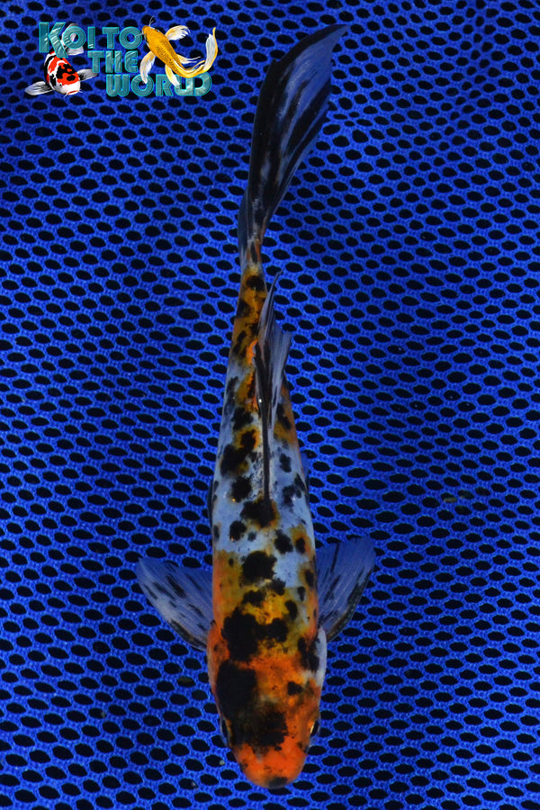 "7.5"" SHUBUNKIN - Koi To The World - 1"