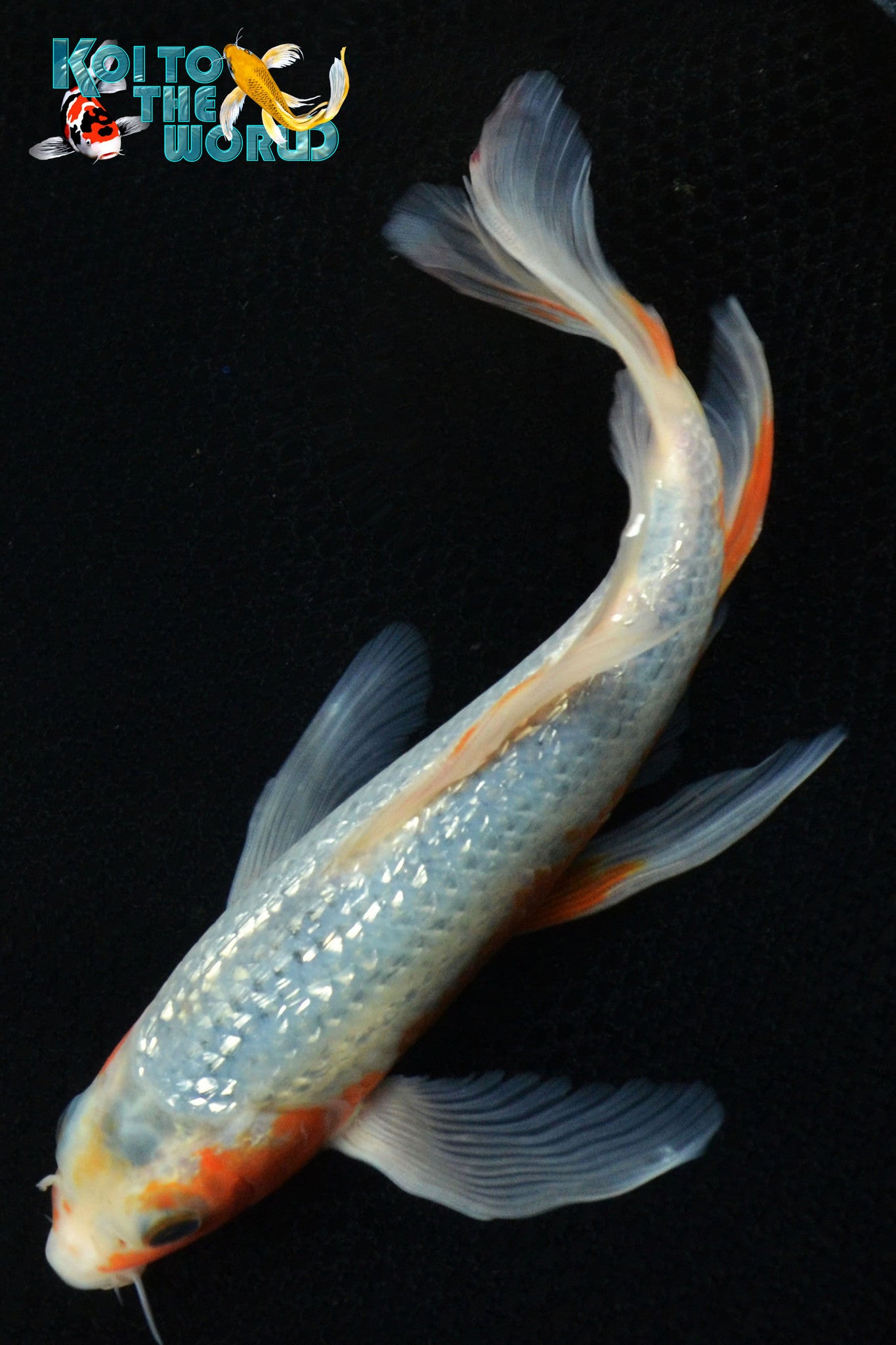 Ginrin asagi butterfly koi to the world for Koi to the world