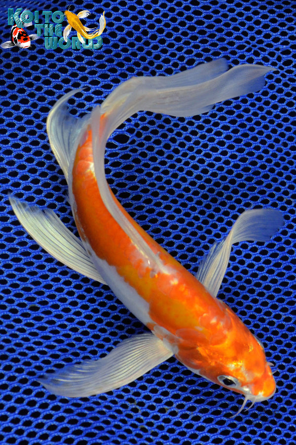"8.75"" KIKUSUI BUTTERFLY - Koi To The World - 1"