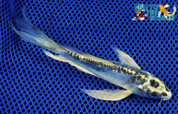 Blue matsuba butterfly koi to the world for Baby butterfly koi