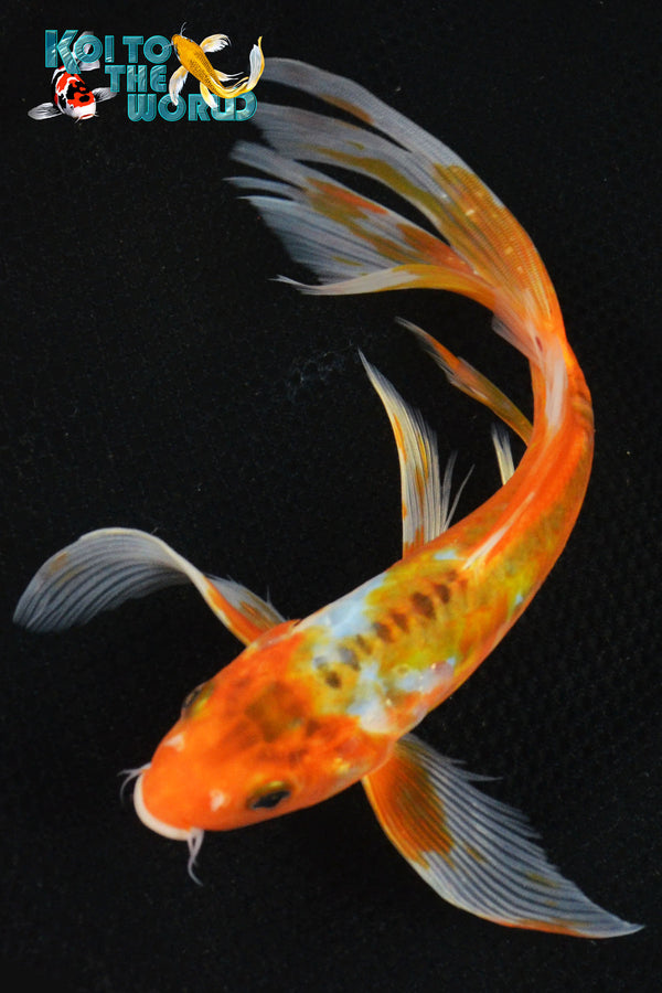 "8.75"" HI SHUSUI BUTTERFLY - Koi To The World - 1"