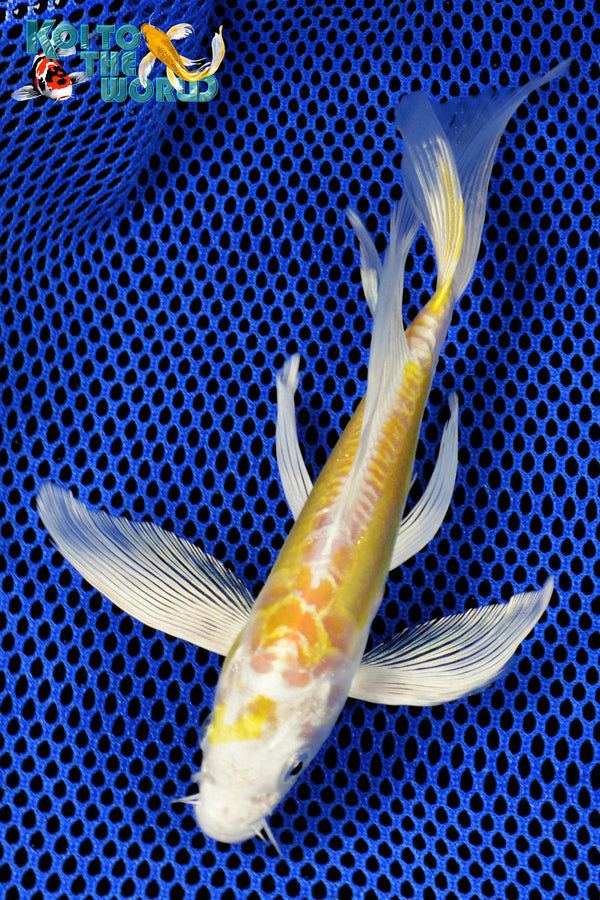 "7.5"" DOITSU HARIWAKE BUTTERFLY - Koi To The World - 1"