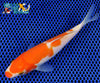 "6.25"" KOHAKU - Koi To The World - 4"